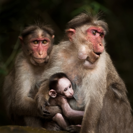 Love care maternity concept. Family portrait of macaque monkeys in wild. Small baby breast feeding and two adult rhesus monkey. Animal in wild, South India photo