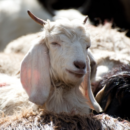 cashmere: White kashmir (pashmina) goat from Indian highland farm in Ladakh Stock Photo