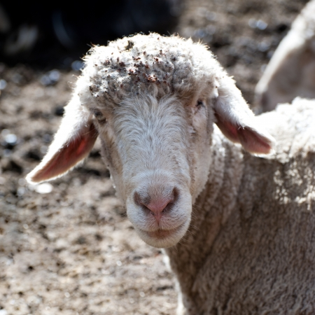 kashmir: White sheep from Indian highland farm in Ladakh