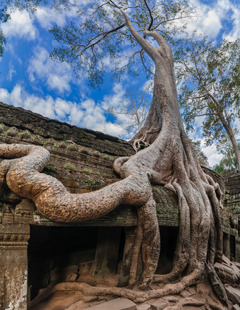 banyan tree: Ancient Khmer architecture  Ta Prohm temple with giant banyan tree at Angkor Wat complex, Siem Reap, Cambodia  Three images panorama