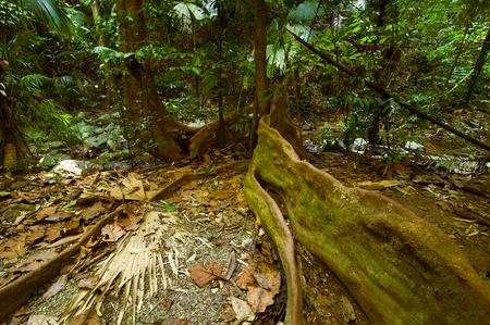 bark rain tree: Rainforest landscape. Big plants, lians, roots and palm trees at tropical jungle. Thailand