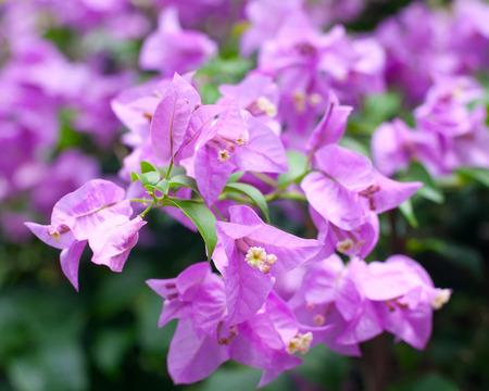 Tropical plants beautiful pink bougainvillea veranera flower tropical plants beautiful pink bougainvillea veranera flower growing in tropical rain forest mightylinksfo