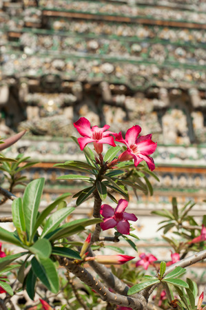 Pink Adenium tropical flower named desert rose at Wat Arun or Temple of Dawn. Thai traditional Buddhist architecture in Bangkok, Thailand Stock Photo - 26308279