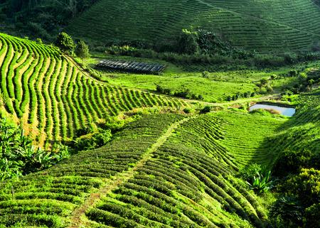 green tea leaf: Tea plantation landscape. Chaing Rai province, Thailand. Nature background