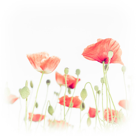 Abstract floral background in vintage style for greeting card. Wild poppy flowers on summer meadow. Watercolor painting effect photo