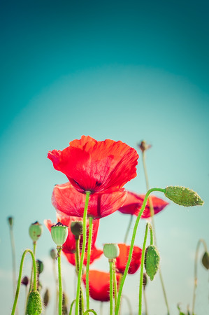 Wild poppy flowers on summer meadow photo
