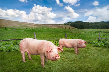 breeding: Cute pigs grazing at summer meadow at mountains pasturage under blue sky Stock Photo