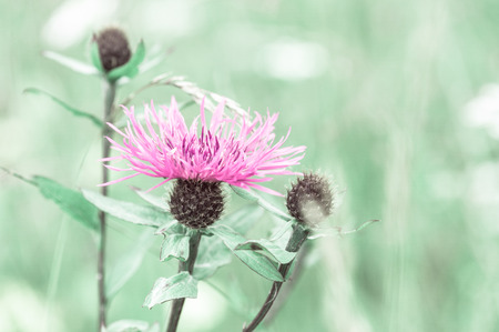 Amazing sunrise at summer meadow with pink milk thistle wildflower photo