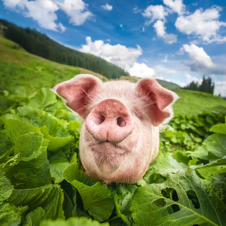pasturage: Cute pig grazing at summer meadow at mountains pasturage under blue sky Stock Photo