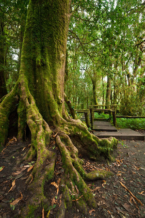 deep roots: Tropical misty rainforest landscape of outdoor park with big tree roots, jungle plants and wooden bridge Stock Photo