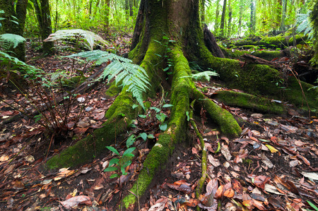 deep roots: Mossy roots of giant tree and fern growing in deep mossy tropical rain forest Stock Photo
