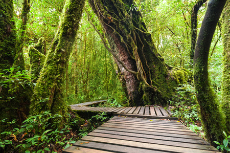 deep roots: Wooden bridge at misty tropical rain forest at Doi Inthanon Park, Thailand