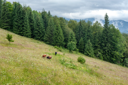 pasturage: Cows at mountains pasturage. Foggy morning landscape with pine tree highland forest at Carpathians. Ukraine destinations and travel background