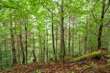 carpathian mountains: Pine trees and ferns growing in deep highland forest. Carpathian mountains nature background. Ukraine Stock Photo