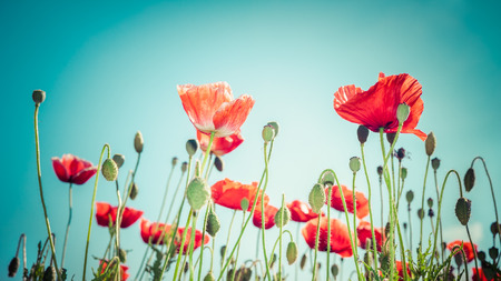 Floral background in vintage style for greeting card. Wild poppy flowers on summer meadow photo