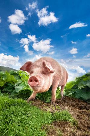 Cute pig grazing at summer meadow at mountains pasturage under blue sky. Organic agriculture natural background photo