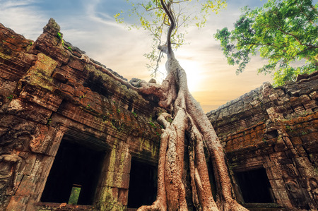 siem reap: Ancient Khmer architecture. Ta Prohm temple with giant banyan tree at sunset. Angkor Wat complex, Siem Reap, Cambodia travel destinations