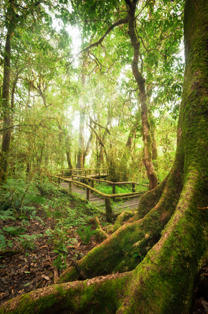 rainforest background: Tropical misty rainforest landscape of outdoor park with big tree roots, jungle plants and wooden bridge. Travel background at Doi Inthanon, Chiang Mai province, Thailand