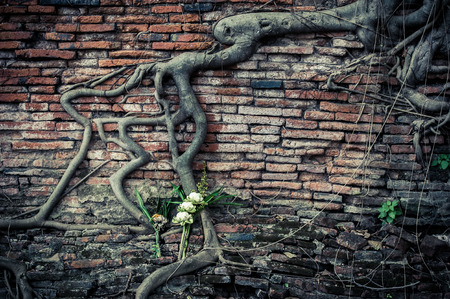 Ancient brick wall, part of buddhist temple ruins with growing banyan tree roots and lotus flowers bouquet