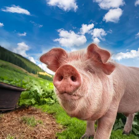 Leuk varken grazen op de zomer weide bij bergen weidegrond onder de blauwe hemel. Biologische landbouw natuurlijke achtergrond