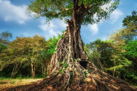 banyan tree: Ancient Khmer pre Angkor architecture. Sambor Prei Kuk temple ruins with giant banyan trees under blue sky. Kampong Thom, Cambodia travel destinations