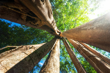 Amazing sunny day at rainforest with giant banyan tropical tree and sunbeams. Nature landscape and travel background. Cambodia photo
