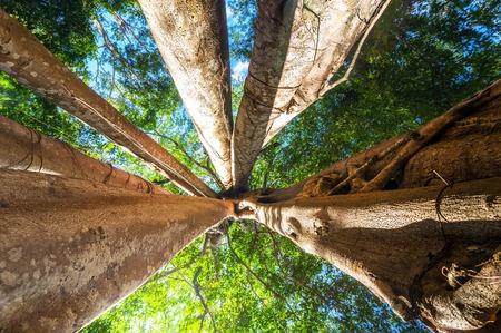 木漏れ日と巨大なバンヤンの熱帯の木と熱帯雨林で驚くほど晴れた日。自然の風景や旅行の背景。カンボジア