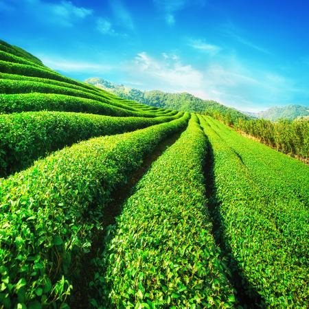 tea plantations: Tea plantation landscape under blue cloudy sky. Chaing Rai province, Thailand Stock Photo