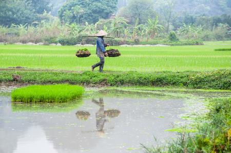 conical hat: Vietnamese farmer works at rice field at foggy morning. Ninh Binh, Vietnam travel landscapes and destinations. Organic agriculture at southeast asia
