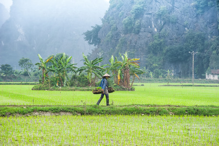 conical hat: NINH BINH, VIETNAM - FEBRUARY 8, 2014: Vietnamese farmer works at rice field at foggy morning. Organic agriculture at southeast asia Editorial