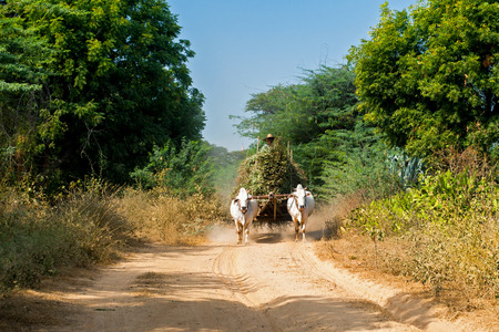 buey: Impresionante paisaje rural con dos bueyes blancos que tiran del carro con el heno en camino polvoriento y Asia hombre de a caballo. Myanmar (Birmania) Foto de archivo