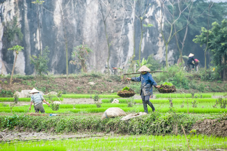 conical hat: Vietnamese farmer on rice paddy field in Ninh Binh, Tam Coc. Organic farming in Asia Amazing panorama view of rice fields and Vietnamese village among limestone rocks  at foggy morning. Ninh Binh, Vietnam travel landscapes and destinations