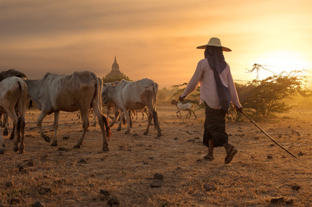 domestic cattle: Burmese herder leads cattle herd through amazing sunset landscape with ancient Buddhist pagodas at Bagan. Myanmar (Burma), travel destinations