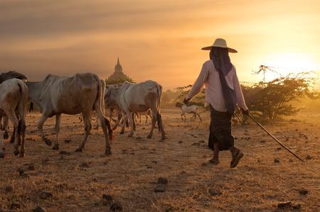 herder: Burmese herder leads cattle herd through amazing sunset landscape with ancient Buddhist pagodas at Bagan. Myanmar (Burma), travel destinations