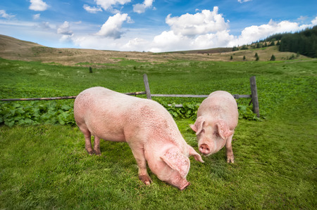 agriculture landscape: Cute pigs grazing at summer meadow at mountains pasturage under blue sky. Organic agriculture natural background