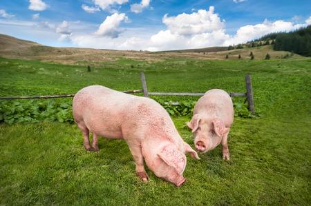 Schattig varkens grazen op de zomer weide bij bergen weidegrond onder de blauwe hemel. Biologische landbouw natuurlijke achtergrond Stockfoto