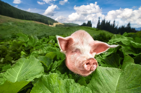 pasturage: Cute pig grazing at summer meadow at mountains pasturage under blue sky. Organic agriculture natural background Stock Photo