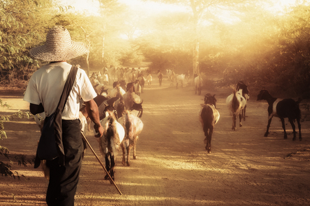 herder: Burmese herder leads goat herd along the dusty road through amazing Bagan sunset landscape. Myanmar (Burma), travel destinations