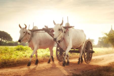 buey: Increíble paisaje rural asiático con dos bueyes blancos que tiran del carro de madera con heno en camino polvoriento al atardecer. Bagan, Myanmar (Birmania)