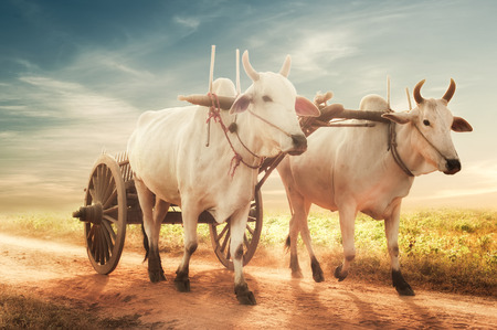 Amazing asian rural landscape with two white oxen pulling wooden cart with hay on dusty road at sunset. Bagan, Myanmar (Burma)