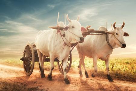 buey: Incre�ble paisaje rural asi�tico con dos bueyes blancos que tiran del carro de madera con heno en camino polvoriento al atardecer. Bagan, Myanmar (Birmania)