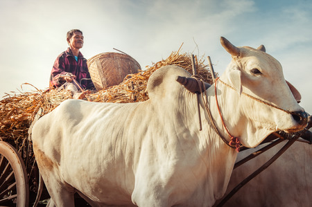 cart road: BAGAN, MYANMAR - DEC 27, 2014: Burmese rural man driving wooden cart with hay on dusty road drawn by two white buffaloes. Rural landscape and traditional village life in Burma countryside