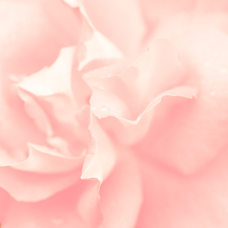 Abstract macro shot of beautiful pink rose flower. Floral background with soft selective focus