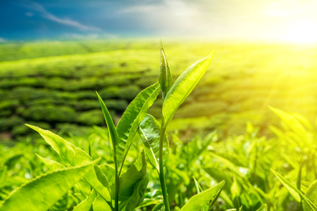 Verse groene theeblaadjes bij aanplanting onder zonsondergang hemel. Natuur landschap van de Cameron Highlands, Maleisië