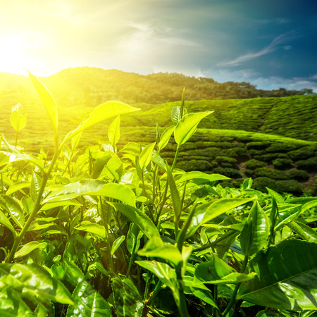 cameron highlands: Fresh green tea leaves at plantation under sunset sky. Nature landscape of Cameron highlands, Malaysia Stock Photo