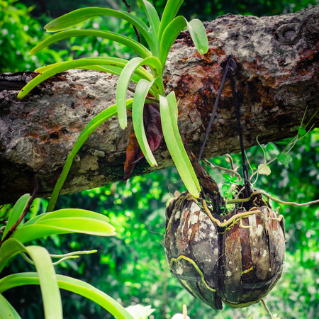 ferns and orchids: Tropical orchid growing in dried coconut pot in rainforest. Traditional asian gardening Stock Photo