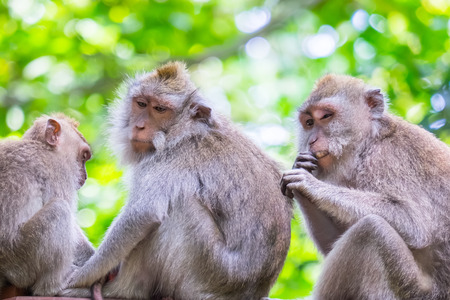 Family of long-tailed macaques sitting together against green foliage on background and grooms each other. Animal social activities concept. Bali, Indonesia. Sacred Monkey Forest Sanctuary