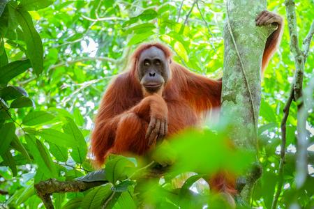 Vrouwelijke orangoetanzitting bij boomboomstam en kijkt rond tegen groene oerwouden op achtergrond. Grote aap in schaduwrijk bos. Bedreigde soorten in natuurlijke habitat. Sumatra, Indonesië