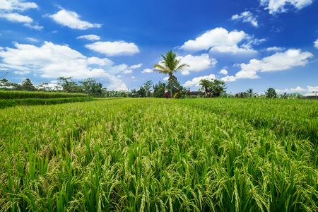 Groene rijstoren die op gebied rijpen dat door dichte wildernis onder blauwe hemel dichtbij Balinees dorp wordt omringd. Indonesië traditionele landbouw