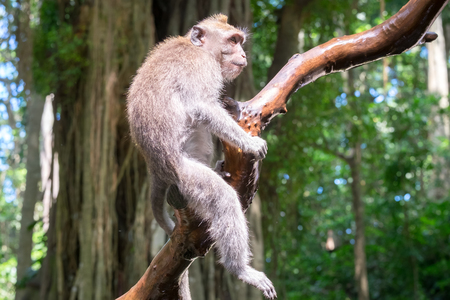 Balinese long-tailed macaque sitting on tree and attentively looking around against green foliage on background.